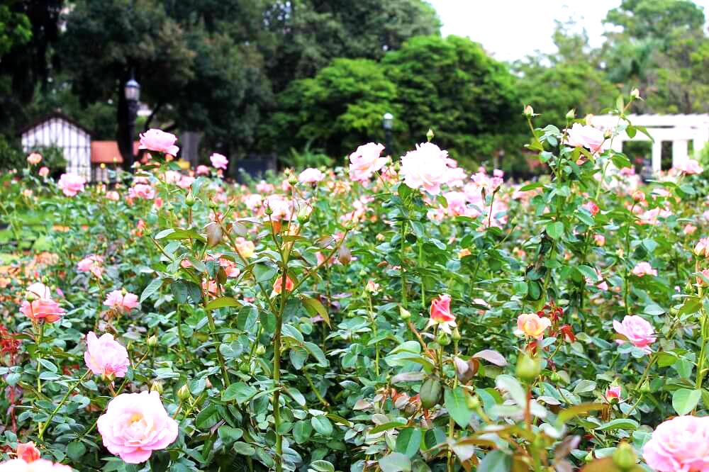 Roseiras de El Rosedal